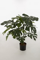 Giant Split Philo Plant x15lvs  85cm