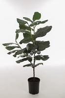 Ficus Lyrata in pot 125cm