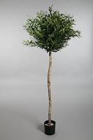 Olive Ball Tree w/2304 lvs 180cm