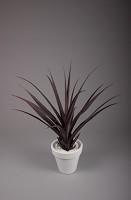 Mid. Pandanus Base Plant w/18 lvs 96cm
