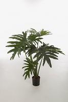 Philodendron Selloum w/8lvs on Pot 80cm